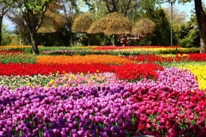 Tulpen in Holland GO Dutchtravel velden mix