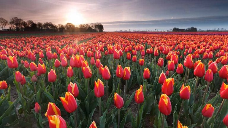 Sightseeing Holland Tulpen velden GO Dutchtravel